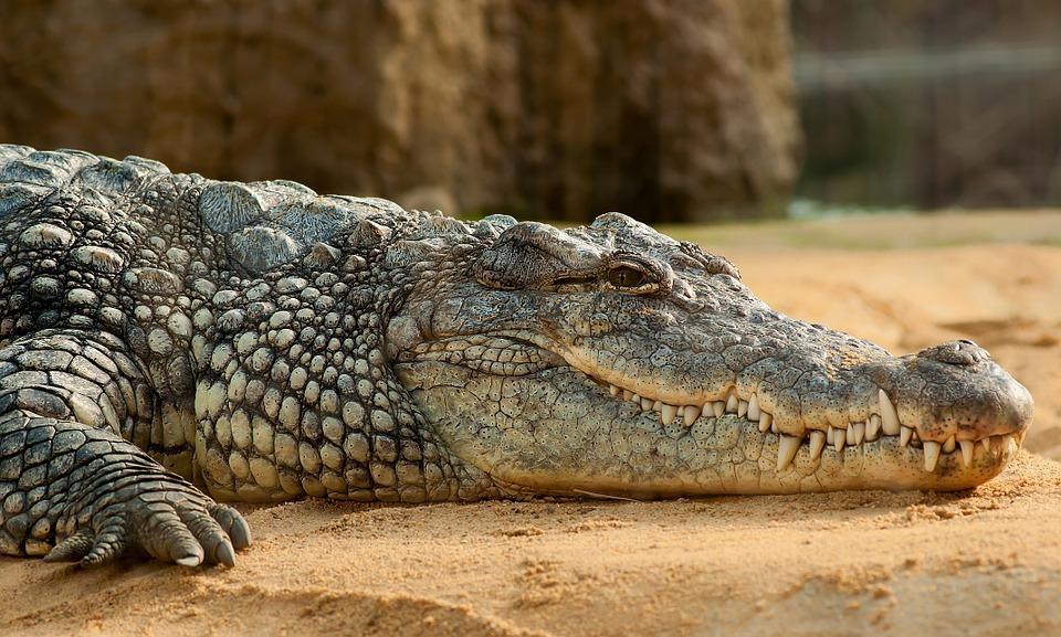 Pro záchranu svého syna podstoupil riziko a pokousal krokodýla